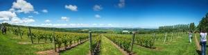 Luckett Vineyards view, end of June 2014. photograph by Albert Wilkinson