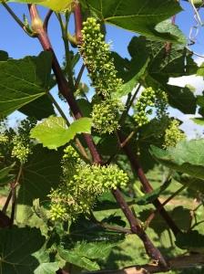 'ello flower! L'acadie starts to bloom on July 4th 2014