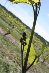 A L'acadie vine - just heading into bloom