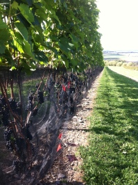 Birdies back off. Leon Millot vines wrapped up in protective netting.