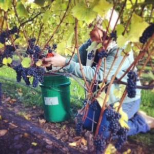Harvesting Lucie Kuhlmann grapes Nov 2014