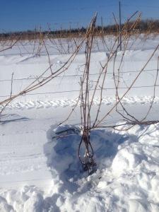Unveil the vine!